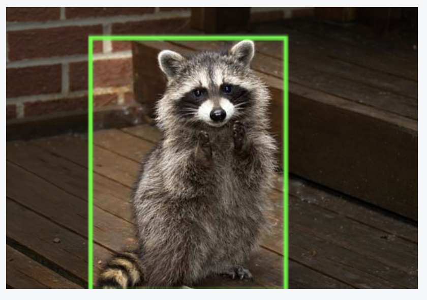 Raccoon annotated for object detection.