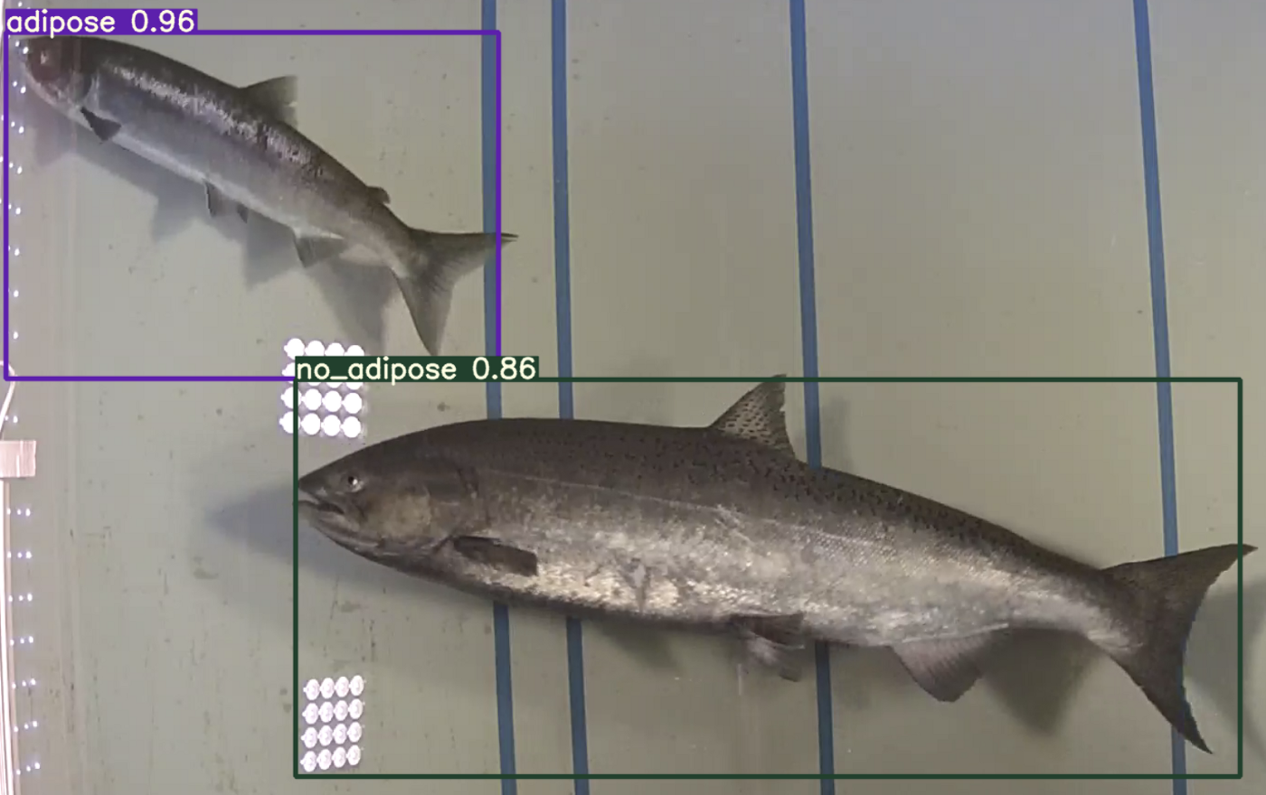 Object detection of salmon.