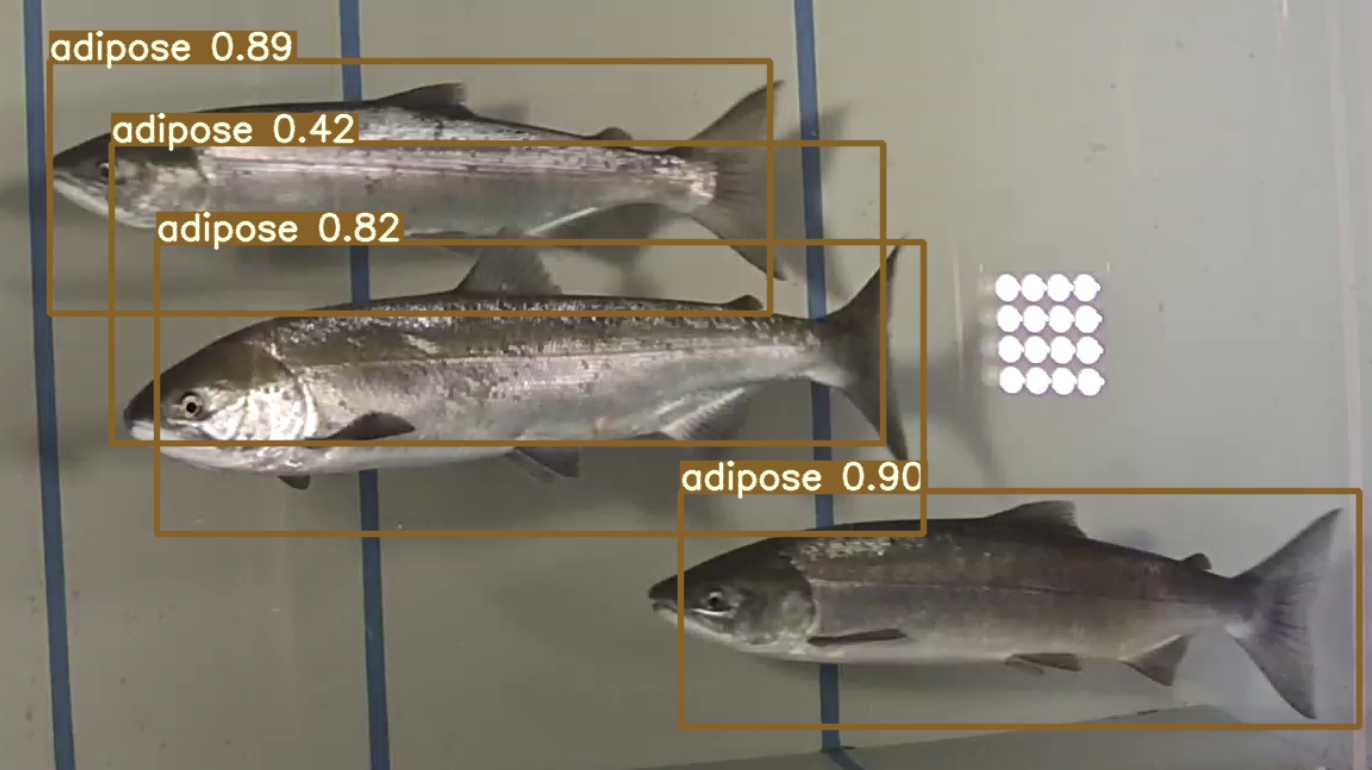 Object detection of fish (salmon) with one object incorrect.