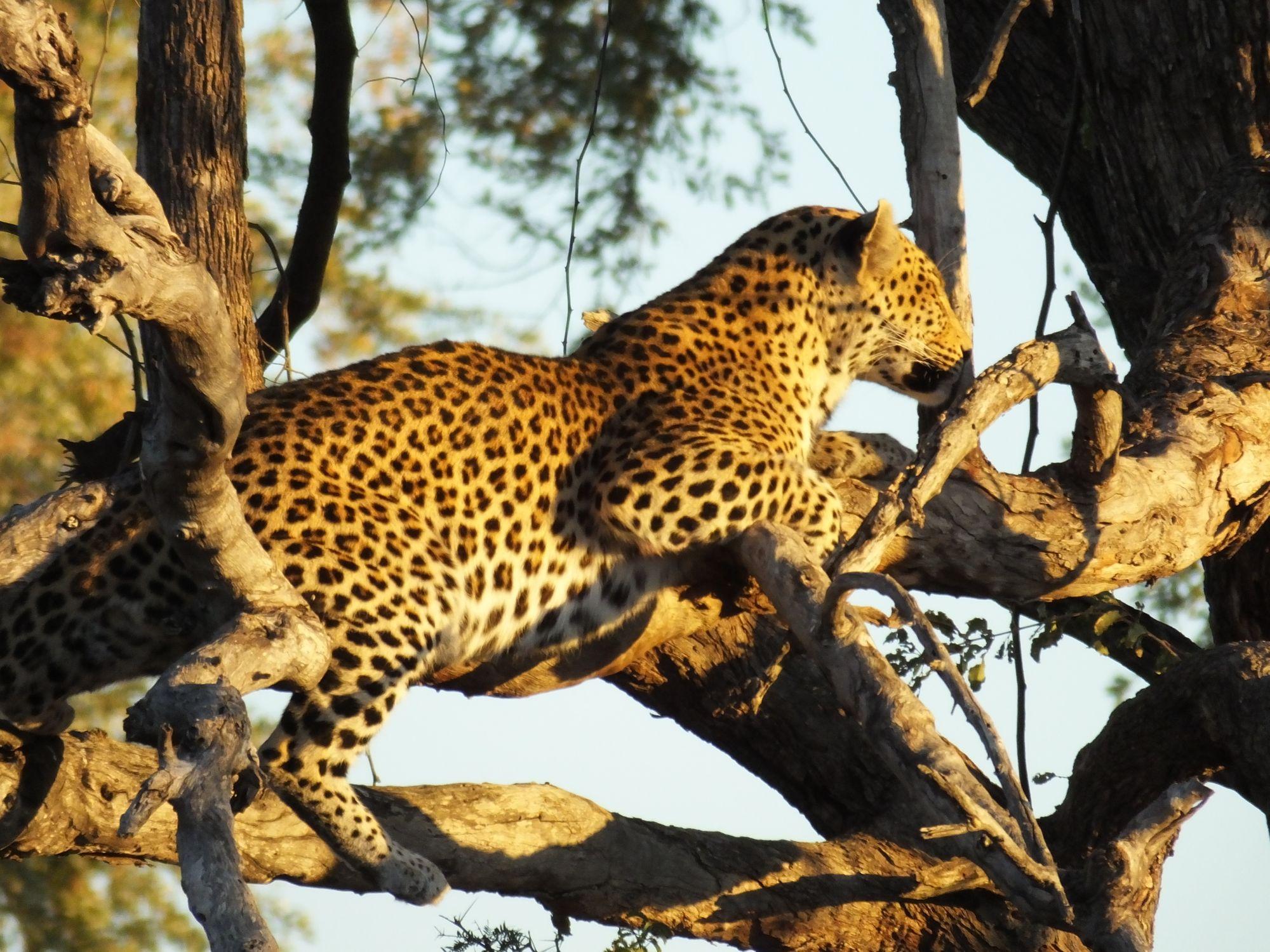 Leopard in a tree in the Okavango Delta