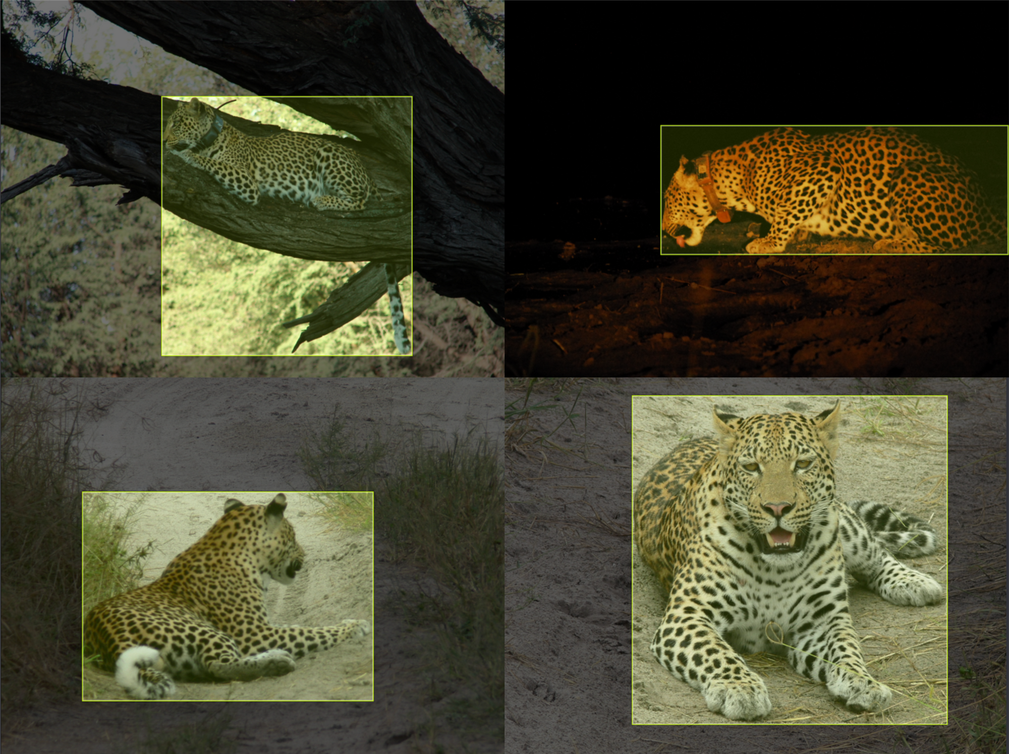 Labeled leopards for computer vision