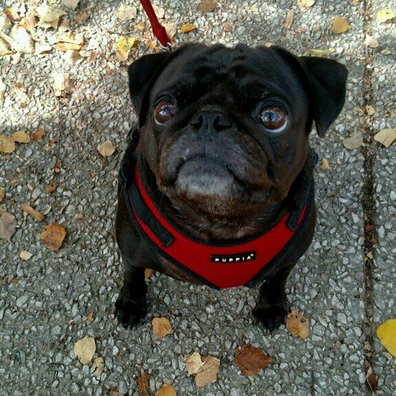 A black pug in a red harness staring up above the camera.